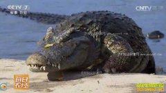 [每日农经]养鳄鱼赚钱:广东高州莫骏荣养鳄鱼效益高