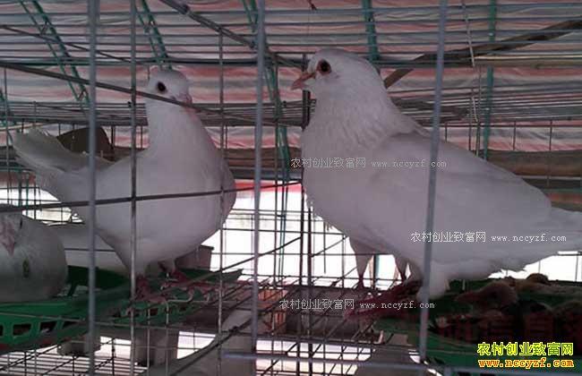 鸽子养殖效益分析 养殖1000对肉鸽一年利润多少图片