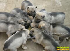 养殖100只肉狗利润多少?2017年肉狗养殖成本效益分析