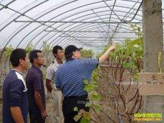 葡萄一年两熟产量如何,哪些地区适合葡萄一年两收种植技术?