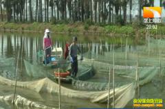 养殖致富项目:湖北洪湖生态养殖河蟹效益高