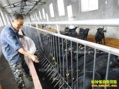 """""""黑山羊""""变""""金凤凰"""" :重庆大足黑山羊价格水涨船高"""