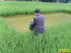 稻田养鱼虾效益怎样?水稻田养什么鱼好?