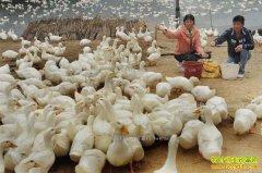 养10000只鸭子能赚多少钱?1万只鸭子养殖成本和利润分析