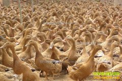 养3000只蛋鸭一年能赚多少钱?三千只蛋鸭养殖成本利润