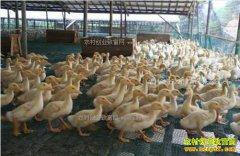 养3000只肉鸭一年能赚多少钱?三千只肉鸭养殖成本利润分析