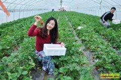 吉林集安:大棚种植草莓成农民致富好项目