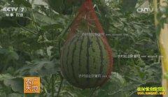 [农广天地]早春大棚西瓜密植栽培技术视频