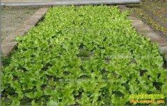 内蒙古扎兰屯刘丽丽大棚种野菜年入十几万的秘诀