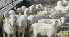 内蒙古呼和浩特活肉羊收购价格一路上涨 每斤涨至9元