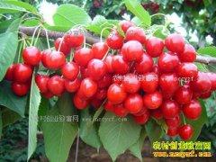 辽宁营口刘川密植矮化种植樱桃 亩产可达15000斤