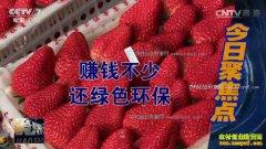 [聚焦三农]辽宁东港河深沟村民不种玉米种草莓更赚钱