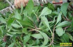 93个品种的野菜种植时间、生长周期、亩产量和功效