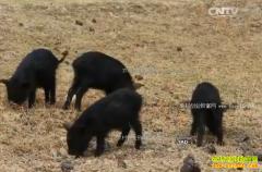 [科技苑]四川武胜县屈永强小楼里养殖藏香猪年入千万
