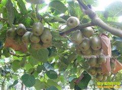 贵州六盘水段昌勇种植猕猴桃酿猕猴桃酒创千万财富