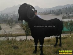 萨能黑山羊最大可长400斤 养殖萨能黑山羊效益好