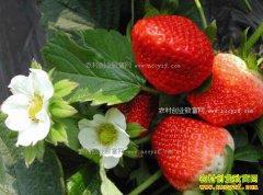 水果市场青黄不接 山东日照草莓价格下降明显