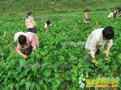 广西鹿寨:种桑养桑蚕成农民致富好项目
