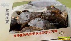 [致富经]广东深圳单凯养殖长得慢的黑颈龟快速赚钱