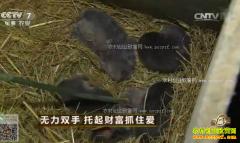 [致富经]湖南江永县何少平养殖竹鼠托起财富抓住爱