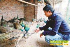 四川泸州许有清养孔雀效益好 一只收入600元