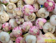 云南新蒜价格不温不火 盲目跟风种植大蒜是主因