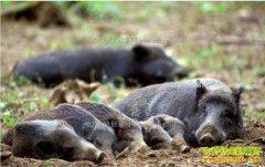 """贵州雷山""""野猪大王""""杨德智的野猪养殖致富经"""