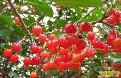 怎样提高樱桃座果率?