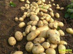 今年土豆市场价格走势怎样?2017年土豆价格预测