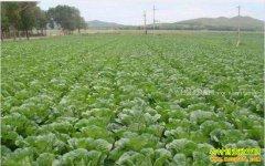 今年白菜价格行情:秋白菜上市价格稳、质量佳