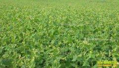 西藏白朗县:种植黑荞麦成农民脱贫致富好项目