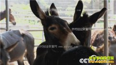 [致富经]陕西三原县倔小伙刁龙养驴年入千万
