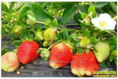 冬草莓陆续上市 2017年草莓价格将迎增长高峰