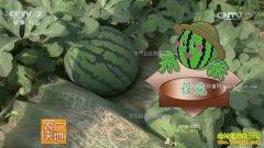 [农广天地]西瓜一种三收效益高