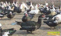 四川乐山:养殖非洲大雁成农民脱贫致富好项目