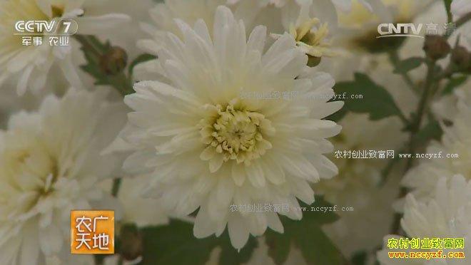 [农广天地]祁菊的种植与初加工 20170313
