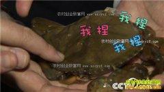 [致富经]山东青岛花勃养殖软壳蟹发硬财