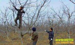 春季大樱桃树怎样修剪?