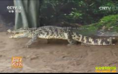 [每日农经]北京平谷洪杰一举多得养鳄鱼