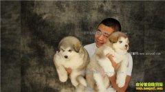 [致富经]吉林长春葛宇天养殖雪橇犬创业好致富