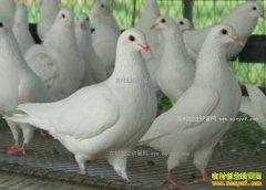 广东仁化县杨雪花养鸽子两万对年收入55万元