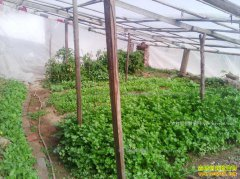 温室大棚能种植野菜吗?