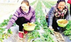 河南唐河:种植无公害草莓成脱贫致富好项目