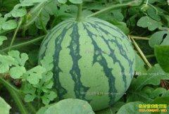 湖南龙山县:种植新品种麒麟西瓜成农民脱贫致富好项目