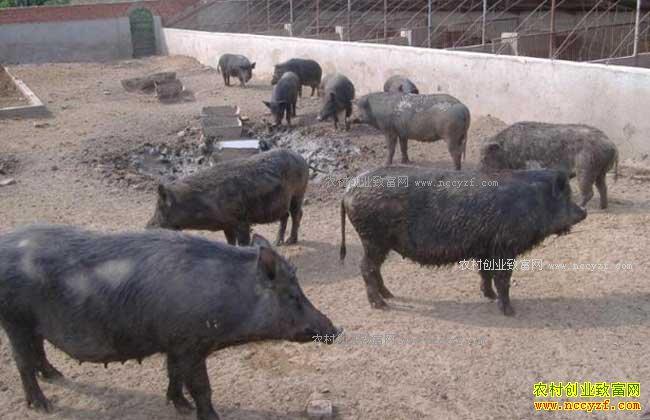 未来农村养殖什么不愁销路-特种野猪