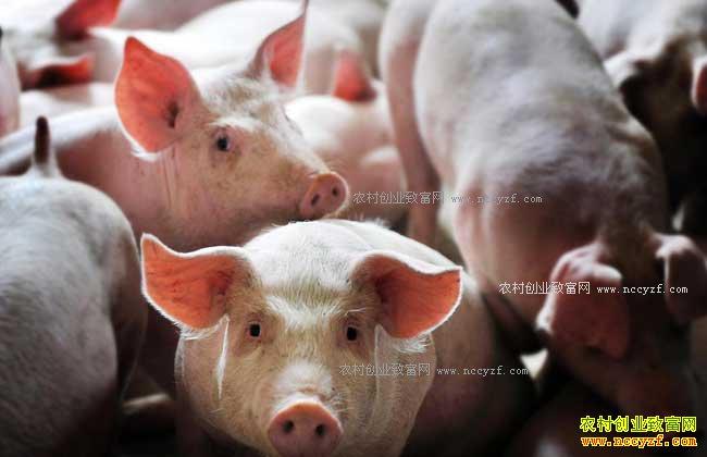 未来农村养殖什么不愁销路-生态养猪
