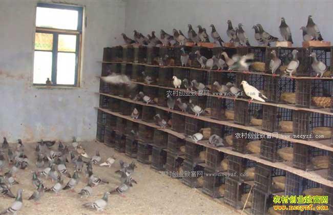 未来农村养殖什么不愁销路-肉鸽养殖