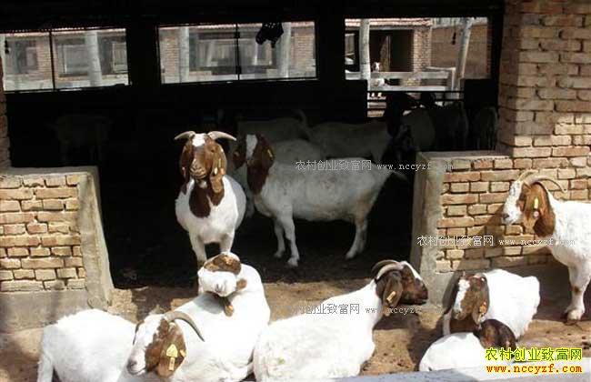 未来农村养殖什么不愁销路-肉羊养殖