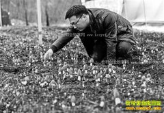 重庆黔江曾凡平种植260亩羊肚菌年收入800万元