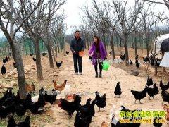 山西闻喜赵何青、王红仙夫妇林地养乌鸡走上致富路